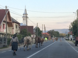 Herding Cattle in Romania