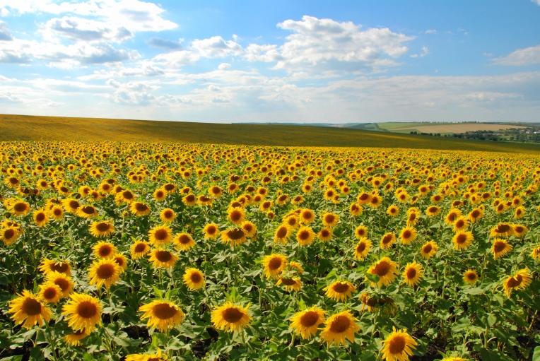Sunflower fields on the way to Țîpova Monastery